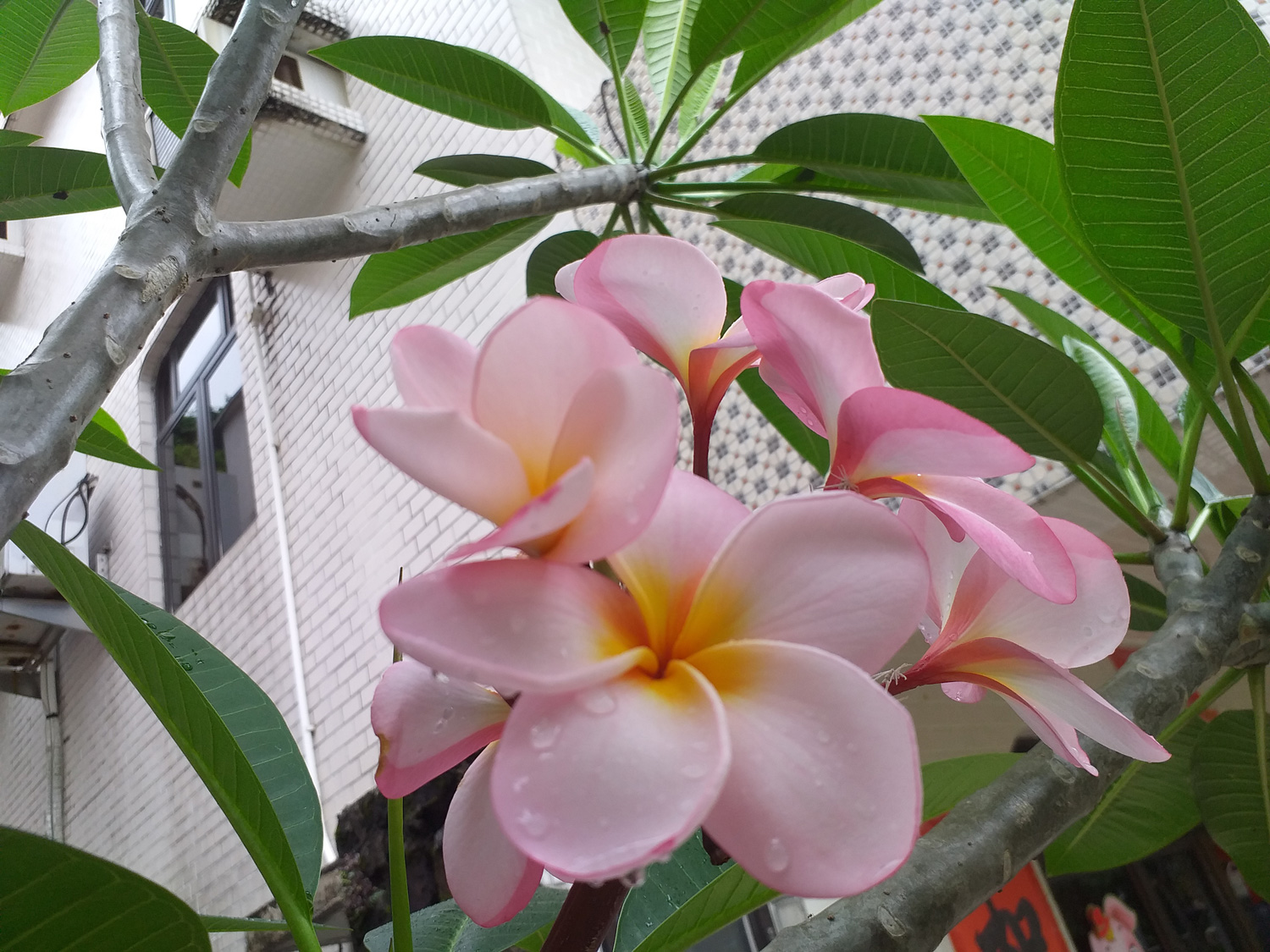 Stop and smell the frangipani
